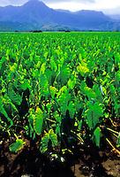 Rich green taro or kalo, a sacred food source of early Polynesians and a staple for native Hawaiians for poi, grows abundantly near Hanalei, on Kauai's north shore. The taro field is called a loi in Hawaiian.