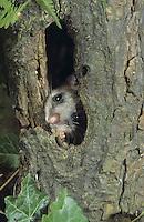 Siebenschläfer, in Baumhöhle, Glis glis, edible dormouse, edible commoner dormouse, fat dormouse, squirrel-tailed dormouse, Schläfer, Bilch, Bilche