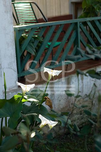 Fazenda Bauplatz, Brazil. White lily flowers.