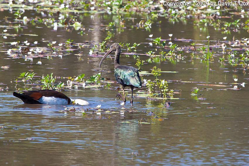 Glossy Ibis, Yellow Waters, Kakadu NP, NT, Australia