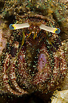 Portrait of a hermit crab, Dardanus lagopodes which usually inhabits shells with wide openings