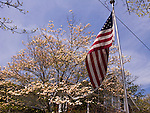Flowers decorate the dogwood trees in the spring.  Rehoboth Beach, Delaware, USA.  © Rick Collier