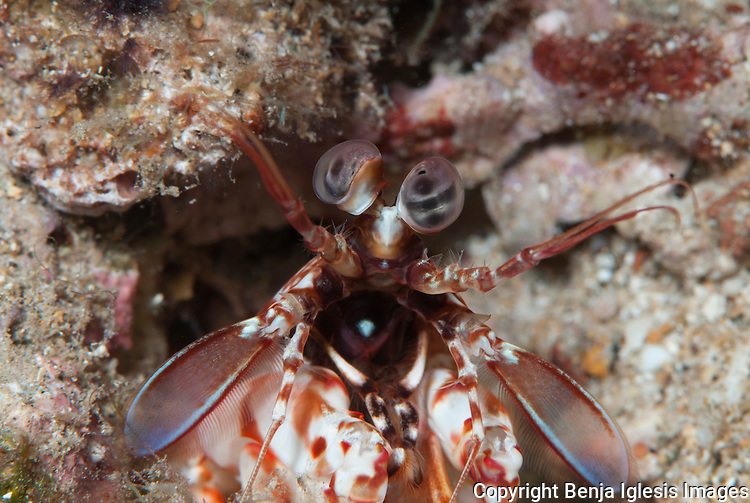 Macro of the face of a short nose mantis shrimp (Odontodactylus bevirostris) Maui Hawaii.The intelligence is comparable to the octopuses.