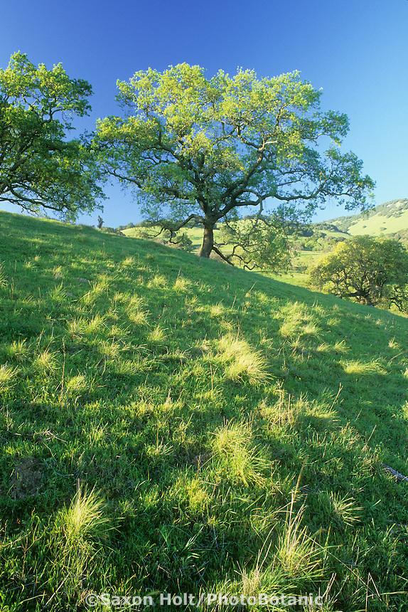 Valley Oak-Quercus lobata in spring flower. Novato, California