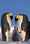 Two adult Emperor Penguins look down at a chick.