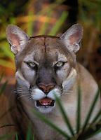 FLORIDA PANTHER..Endangered Species. Florida..(Felis concolor coryi).