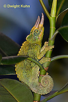 CH35-635z  Male Jackson's Chameleon or Three-horned Chameleon, close-up of face, eyes and three horns, Chamaeleo jacksonii