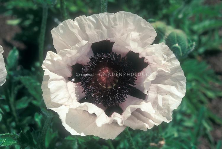 Papaver orientale 'White & Black' white flower with black markings, perennial poppy, macro closeup portrait of late spring bloom