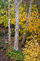 Paper Birch tree - Betula papyrifera with white bark and Clethra shrub, summersweet in fall foliage at UC Berkeley Botanical Garden