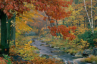 Northern red oak<br />   along Willard Brook<br /> Willard Brook State Forest<br /> Massachusetts