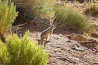 BlackTail Jack Rabbit