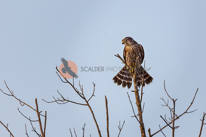 Female Merlin perched on top of bare tree top scanning ground