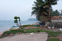 Goats scavenge for food in early morning at Beruwala fishing village as fishermen begin their preparations -Sri Lanka