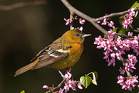 Female Northern Oriole (Icterus galbula) in redbud tree. Great Lakes Region. Spring.