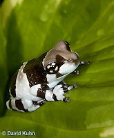 0305-0912  Froglet, Amazon Milk Frog (Marbled Tree Frog), Trachycephalus resinifictrix (formerly: Phrynohyas resinifictrix)  © David Kuhn/Dwight Kuhn Photography