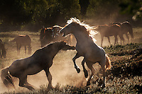 """The roan stallion fights with Phantom, a white stallion new to the herd. The two  test each other to see who is dominant in the mustang hierarchy.<br /> <br /> Dianne Nelson has saved mustangs on a ranch in northern California at the Wild Horse Sanctuary.  """"It was in 1978 that the Wild Horse Sanctuary founders rounded up almost 300 wild horses for the Forest Service in Modoc County, California. Of those 300, 80 were found to be un-adoptable and were scheduled to be destroyed at a government holding facility near Tule Lake, California. <br /> The Sanctuary is located near Shingletown, California on 5,000 acres of lush lava rock-strewn mountain meadow and forest land. Black Butte is to the west and towering Mt. Lassen is to the east.<br /> Their goals:Increase public awareness of the genetic, biological, and social value of America's wild horses through pack trips on the sanctuary, publications, mass media, and public outreach programs<br /> Continue to develop a working, replicable model for the proper and responsible management of wild horses in their natural habitat..Demonstrate that wild horses can co-exist on the open range in ecological balance with many diverse species of wildlife, including black bear, bobcat, mountain lion, wild turkeys, badger, and gray fox.<br /> Collaborate with research projects in order to document the intricate and unique social structure, biology, reversible fertility control, and native intelligence of the wild horse."""