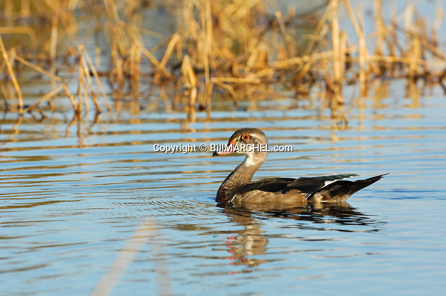 00360-098.10 Wood Duck immature drake is on the water of marsh.  Wild rice, hunt.