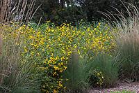 Encelia californica California Bush Sunflower flowering California native perennial with Muhlenbergia lindheimeri Fullerton Arboretum, Southern California