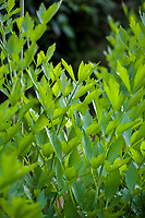 Edible leaf foliage, Culinary herb, Lovage (Levisticum officinale)
