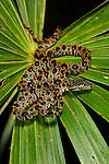 Juvenile Amazon Tree Boa (Corallus hortulanus). Forest near Napo River, Ecuador.