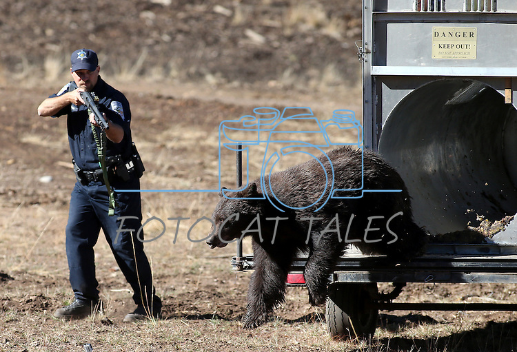 Nevada Department of Wildlife Game Warden Jake Kreamer shoots rubber buckshot at an adult male black bear as he's released in the mountains west of Carson City on Wednesday, Oct. 23, 2013. The rubber buckshot and the use of a Karelian bear dog help teach the relocated bears to fear humans. <br /> (Cathleen Allison/Las Vegas Review-Journal)