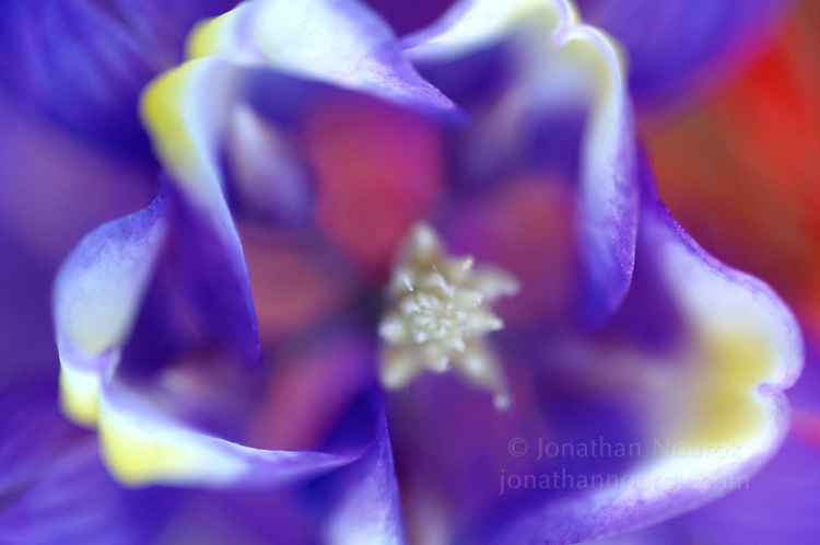 close-up of a grape soda lupine flower