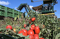 ITALY, Parma, tomato contract farming for company Mutti s.p.a., harvest with Sandei FMC harvester, the harvested plum tomatoes are processed direct on the field at Insta Factory a mobile conserving unit and used for passata Sul Campo / ITALIEN, Tomaten Vertragsanbau fuer Firma Mutti spa, die geernteten Flaschentomaten werden anschliessend direkt am Feld in der Insta Factory, einer mobilen Konservierung, zu Passata Sul Campo verarbeitet und konserviert