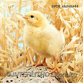 Xavier, EASTER, OSTERN, PASCUA, photos+++++,SPCHCHICKS44,#e#, EVERYDAY ,chicken