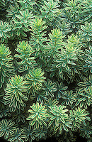 Daphne x burkwoodii 'Carol Mackie' foliage plant shrub