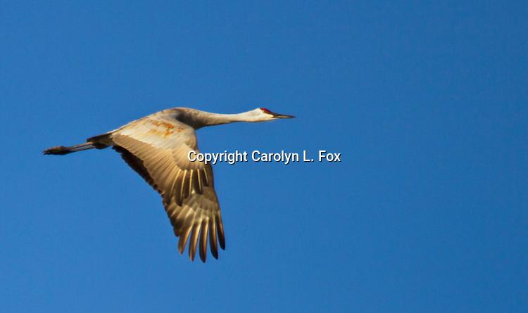 A Sandhill Crane flies over the Nebraska landscape.
