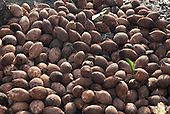 Aldeia Baú, Para State, Brazil. Babassu nuts drying in the sun.