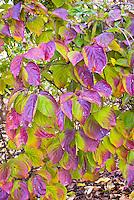 Cornus kousa  in autumn color Korean Dogwood tree