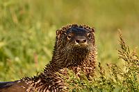 North American River Otter (Lontra canadensis) or Northern River Otter.  Williamson River, Klamath Marsh National Wildlife Refuge, Oregon.