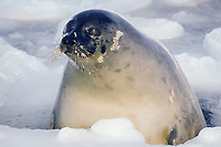 harp seal, Pagophilus groenlandicus, female, In pack ice, Magdalen Islands