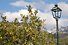 lemon tree in front of the snow covered Tramuntana mountains<br /> <br /> limonero en frente de la Tramuntana cubierta de nieve<br /> <br /> Zitronenbaum vor schneebedecktem Tramuntana-Gebirge<br /> <br /> 3008 x 2000 px<br /> 150 dpi: 50,94 x 33,87 cm<br /> 300 dpi: 25,47 x 16,93 cm