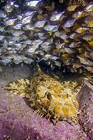 ornate wobbegong, Orectolobus ornatus, or Gulf wobbegong or banded wobbegong, Orectolobus halei, Fish Rock, South West Rocks, New South Wales, Australia