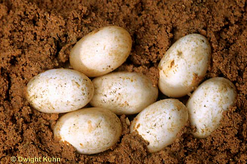 1R13-025d  Painted Turtle - eggs in sand - Chrysemys picta