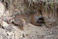 Rotfuchs, Jungtier, Welpe, Tierkind, Tierbaby, Tierbabies, Rot-Fuchs, Fuchs, Vulpes vulpes, red fox