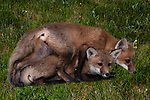 Two 6 week old Red fox kitts playing together just outside of den entrance in field grass.