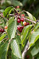 Vogel-Kirsche, Vogelkirsche, Süß-Kirsche, Süsskirsche, Wildkirsche, Wild-Kirsche, Kirsche, Prunus avium, Früchte, Gean, Mazzard, Wild Cherry