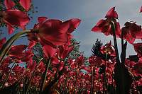 Multiple pink tulips reach for the sun