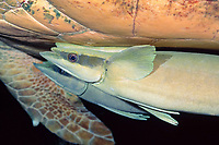 sharksuckers (remoras), Echeneis naucrates, attached to underside of loggerhead sea turtle, Caretta caretta, Bahamas, Caribbean Sea, Atlantic Ocean