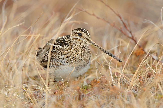 Wilson's Snipe (Gallinago delicata) on spring tundra. Seward Peninsula, Alaska. May.