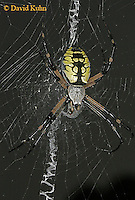 0823-06ww  Garden spider - Argiope aurantia © David Kuhn/Dwight Kuhn Photography