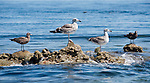 Sea of Cortez, Baja California, Mexico; several seagulls standing on rocks just high enough to break the water's surface