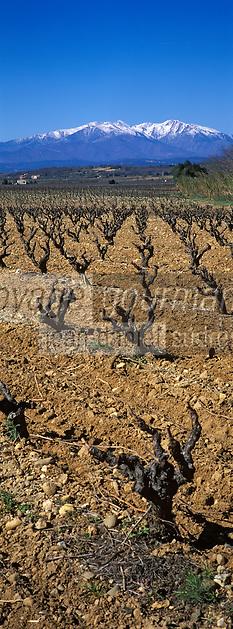 Europe/France/Languedoc-Roussillon/66/Pyrénées-Orientales/environs d'Elne: vignoble AOC Côtes du Rousillon et Canigou