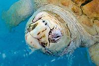 loggerhead sea turtle, Caretta caretta, breathing, a rare leucistic turtle, Center for sea turtle protection, TAMAR project, Praia do Forte, Bahia, Brazil, Atlantic Ocean