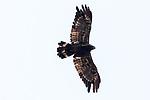 Crowned Hawk Eagle
