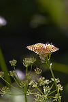 Silverspot butterfly, Mount Rainier National Park, Speyeria zerene ranieri, (pending verification), Wonderland Trail, Washington State, Pacific Northwest, U.S.A.,