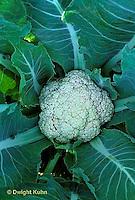 HS27-002c  Cauliflower - Snow Crown variety